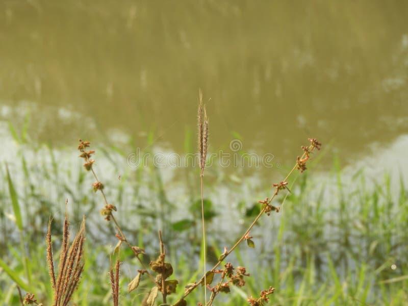 Herbe de rallonge coudée photographie stock libre de droits