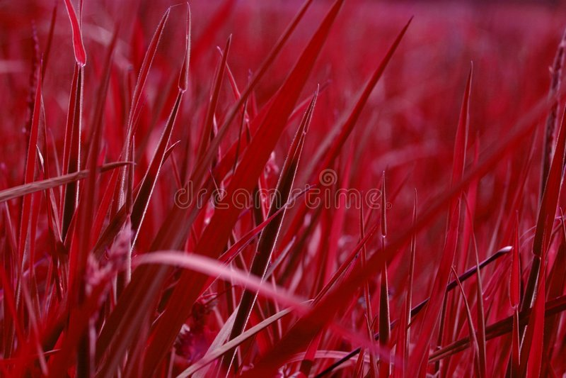 Herbe de rouge de sang photo stock