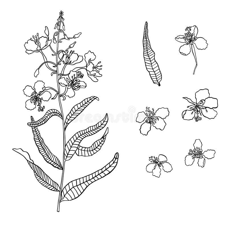 Herbe de saule de vecteur, fleur d'épilobe en encre illustration libre de droits