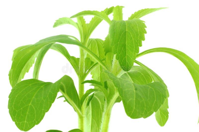 Herbe de substitut de sucre de Stevia images libres de droits