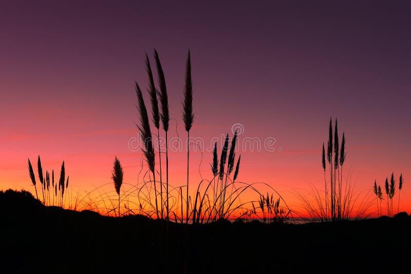 Herbe des pampas au coucher du soleil images libres de droits