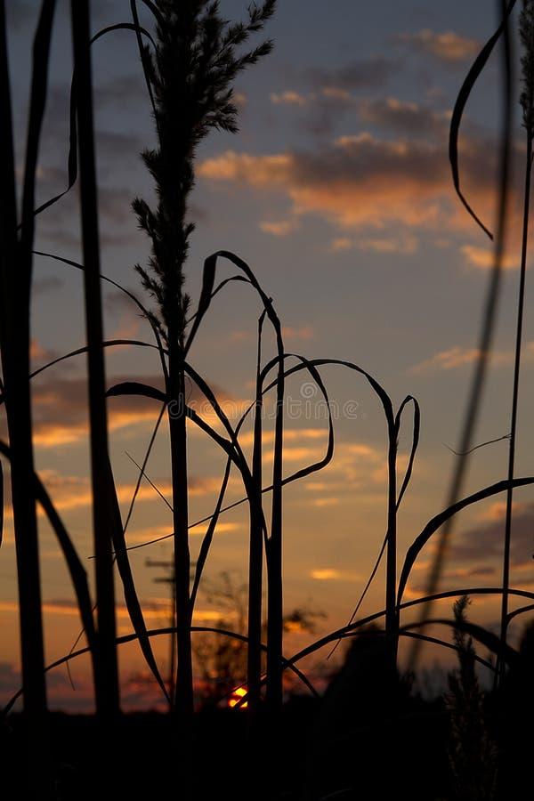 Herbe des pampas avec le coucher du soleil de fond image libre de droits