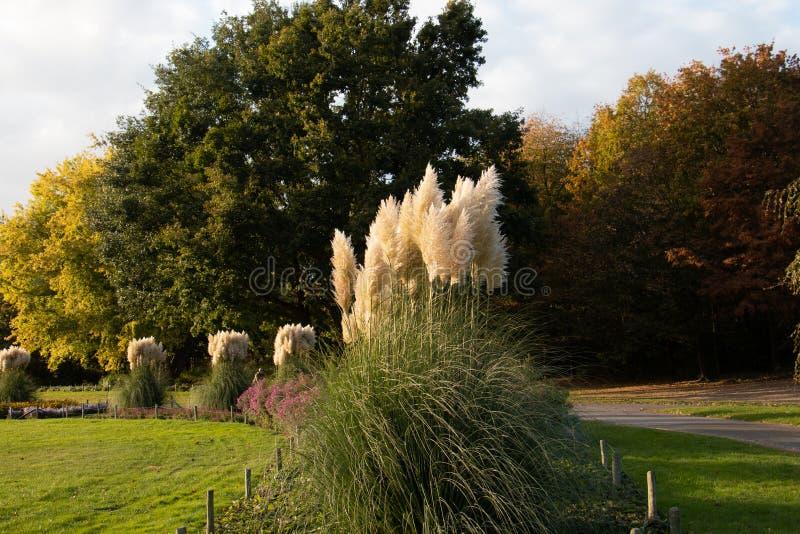 Herbe des pampas en parc public image libre de droits