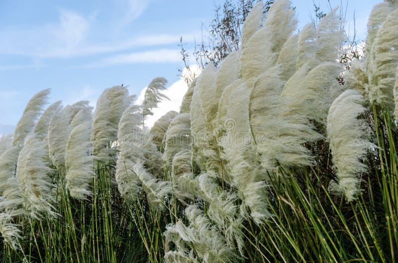 Herbe des pampas soufflant dans le vent photo libre de droits