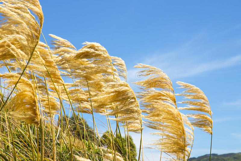 Herbe des pampas soufflant dans le vent contre un ciel bleu images stock