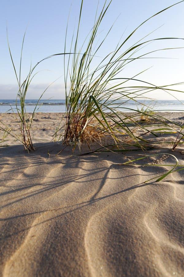 Herbe dunaire photos stock