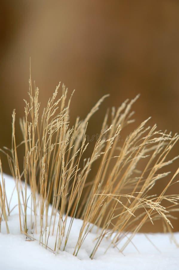 Herbe en hiver photo stock