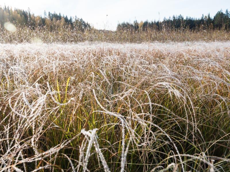 Herbe et carex congelés au pré d'inondation image libre de droits