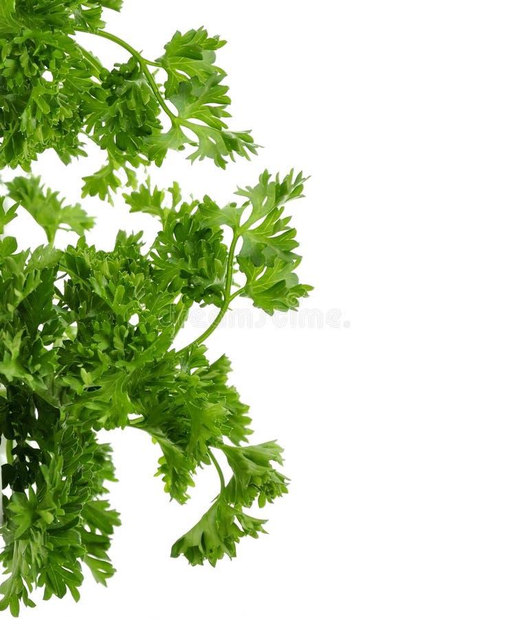 Herbe fraîche de persil image stock