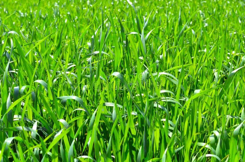 Herbe fraîche verte photo libre de droits