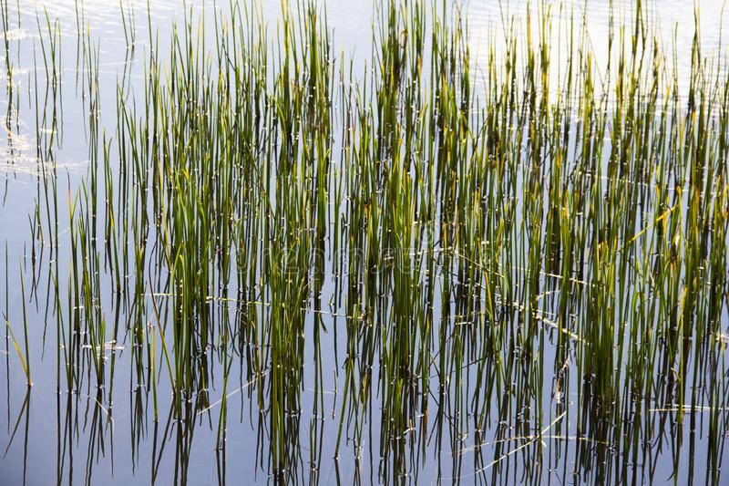 Herbe grande dans l'étang image libre de droits