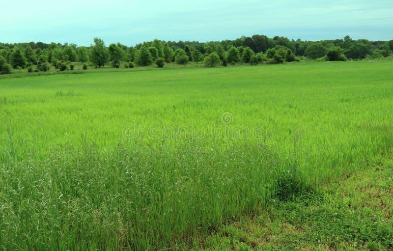 Herbe grande dans un pré avec des arbres dans la distance photographie stock libre de droits