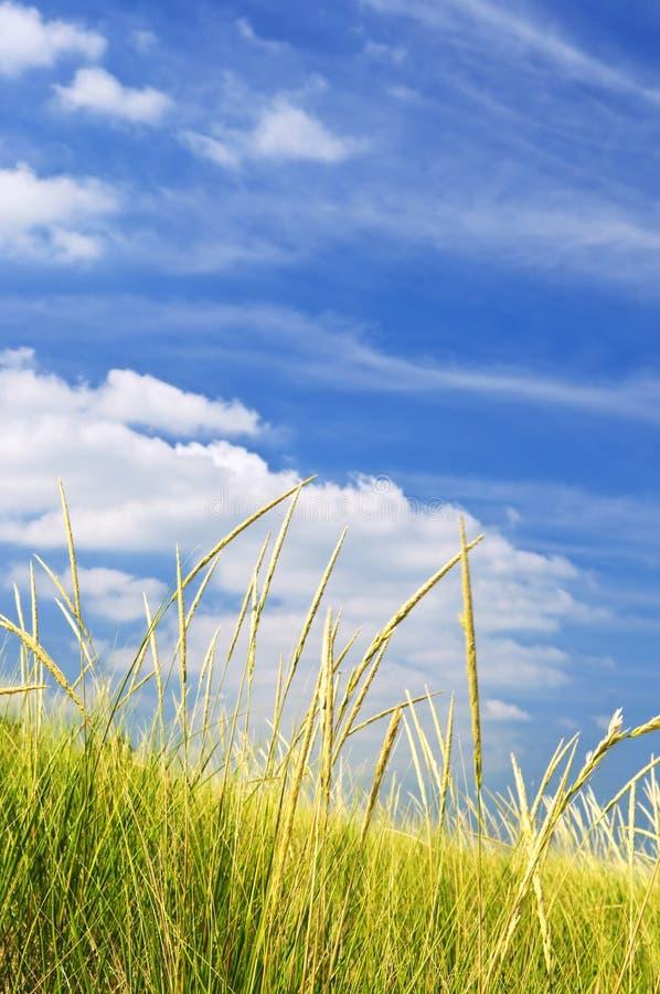 Herbe grande sur des dunes de sable photographie stock