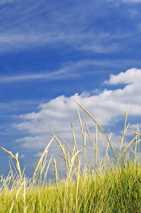 Herbe grande sur des dunes de sable photographie stock libre de droits