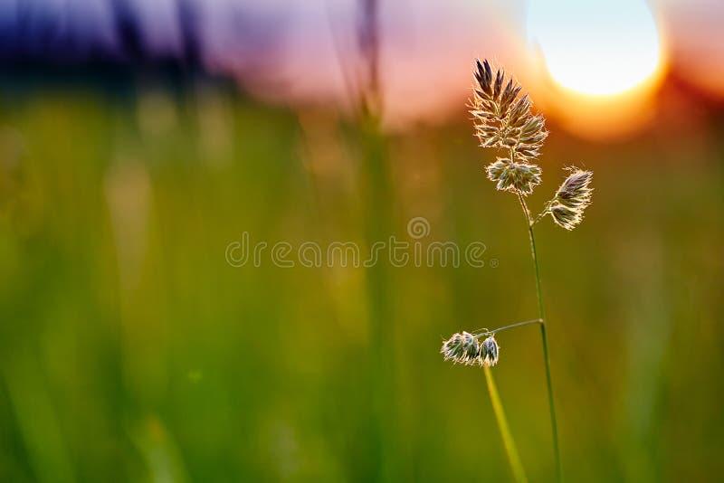 Herbe grande verte dans la perspective du coucher de soleil photo stock