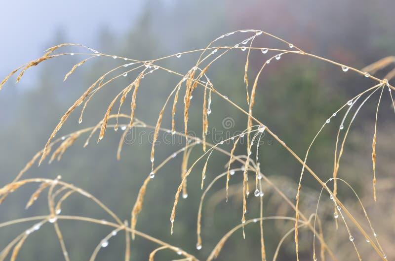Herbe humide en brume photographie stock