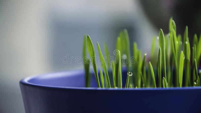 Herbe humide fraîche dans le pot bleu photo libre de droits