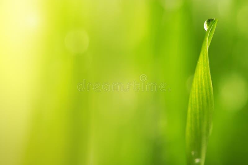 Herbe humide verte avec la rosée sur lames image libre de droits