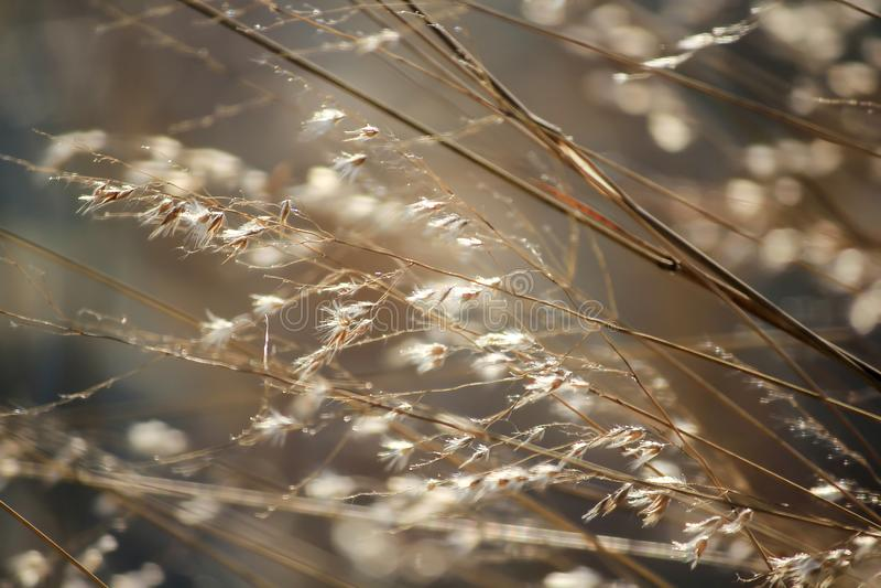 Herbe inclinant dans le vent photo libre de droits