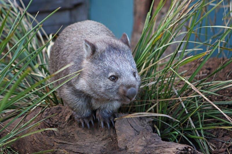 Herbe intermédiaire de wombat photographie stock