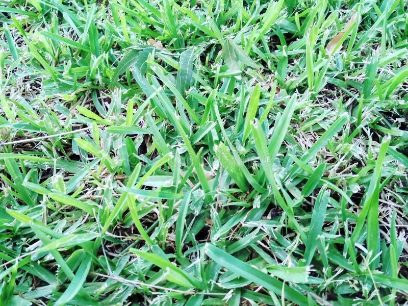 Herbe lumineuse photo libre de droits