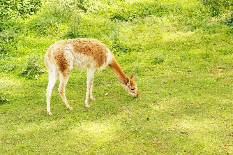 Herbe mangeant le lama photo stock