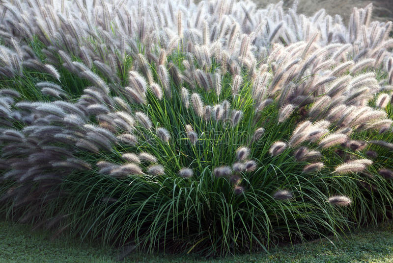 Herbe ornementale Moudry photos stock