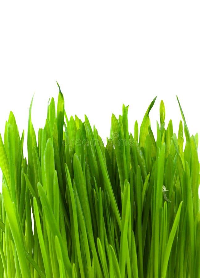 Herbe pratal verte photographie stock libre de droits