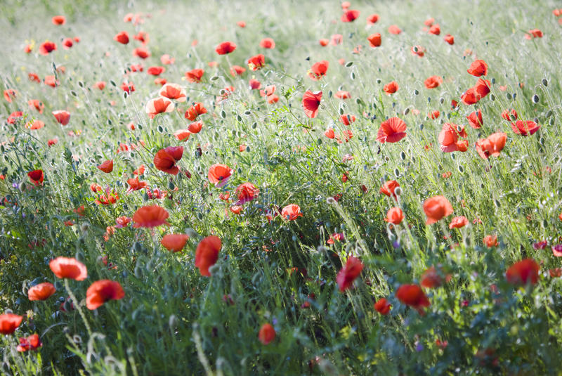 Herbe rouge photographie stock