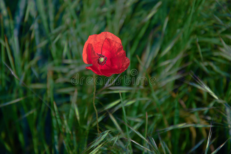 Herbe rouge images stock