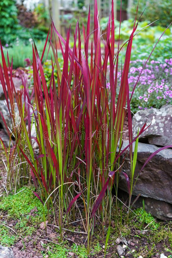Herbe rouge de baron de cylindrica d'Imperata Rubra dans le jardin photo stock