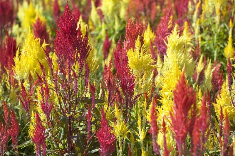 Herbe rouge et jaune images libres de droits