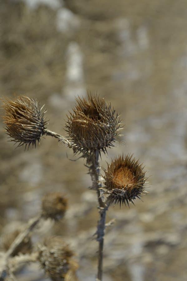 Herbe sèche épineuse d'usine de bardane de fleur photographie stock libre de droits