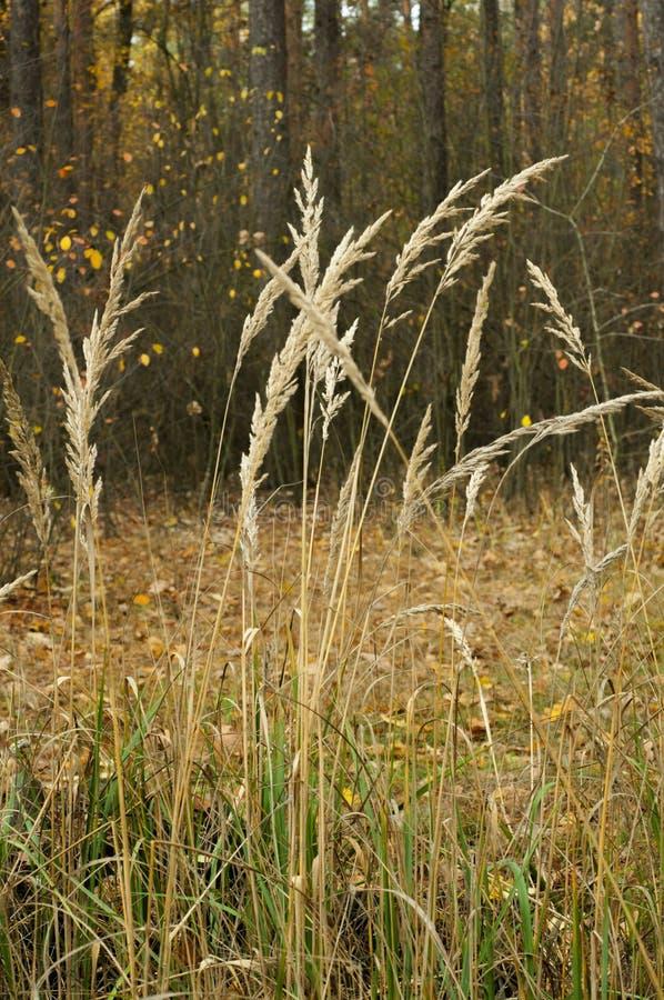 Herbe sèche dans la forêt photos libres de droits