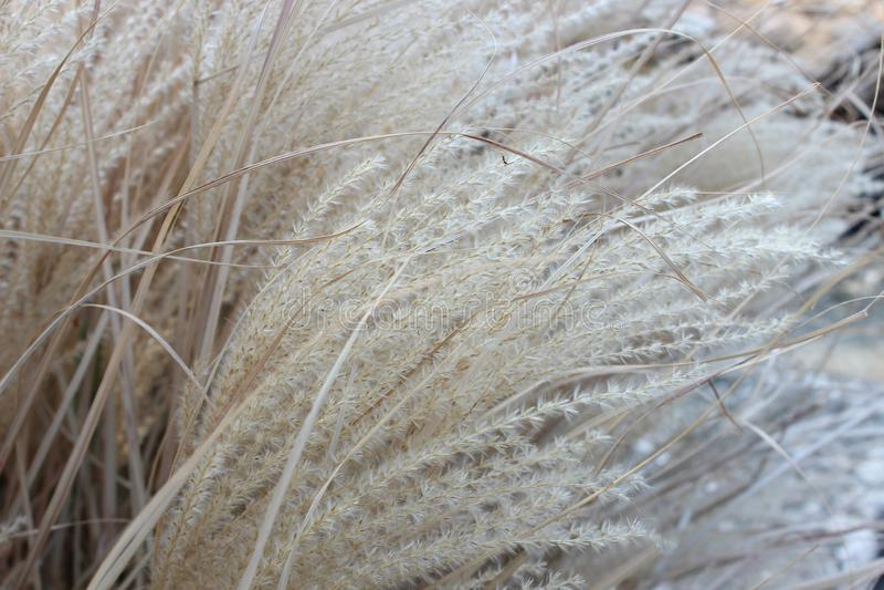 herbe sèche de buisson photographie stock