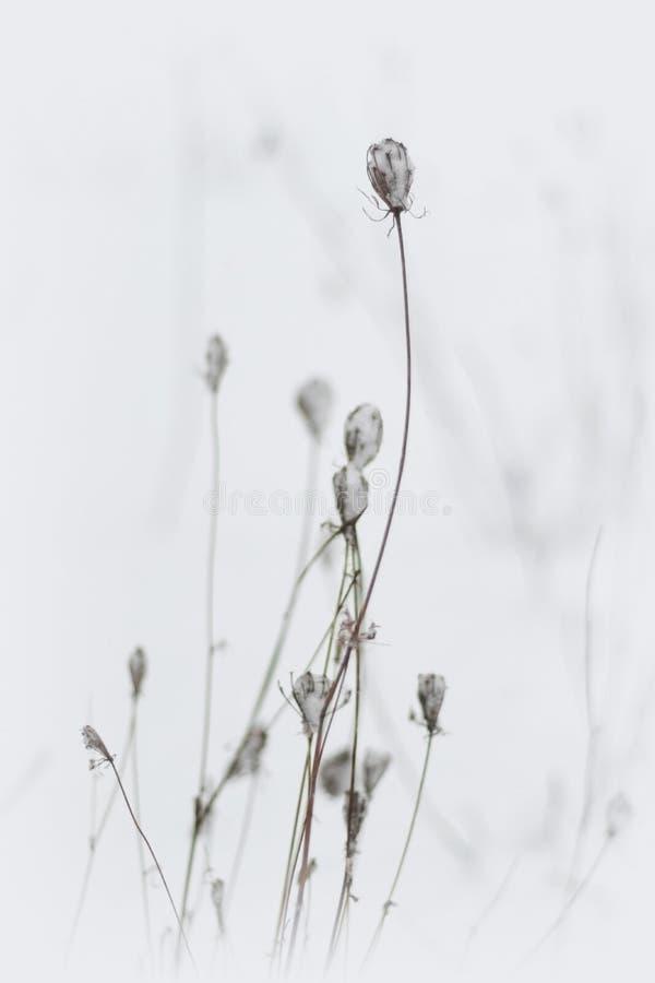 Herbe sèche sous la première neige image libre de droits