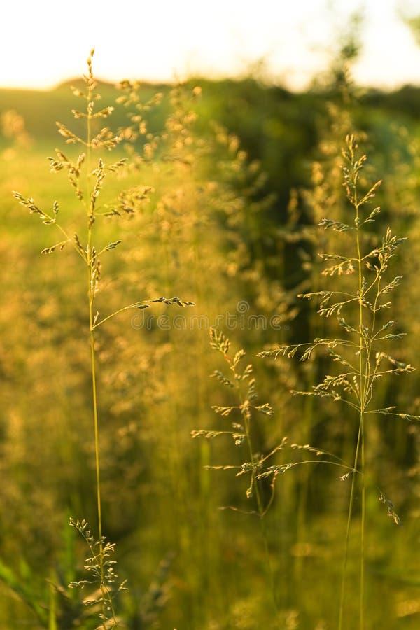 Herbe sauvage d'or sur le coucher du soleil dans le contre-jour photos stock