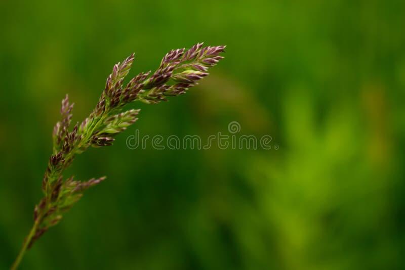 Herbe sauvage de champ d'isolement sur le fond vert photo stock