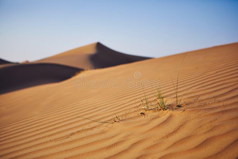 Herbe sur la dune de sable photos libres de droits