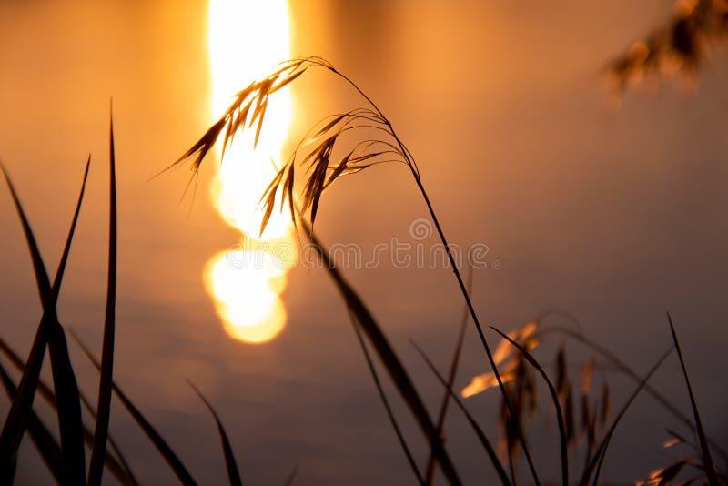 Herbe sur le fond de la rivière et du coucher du soleil photo stock