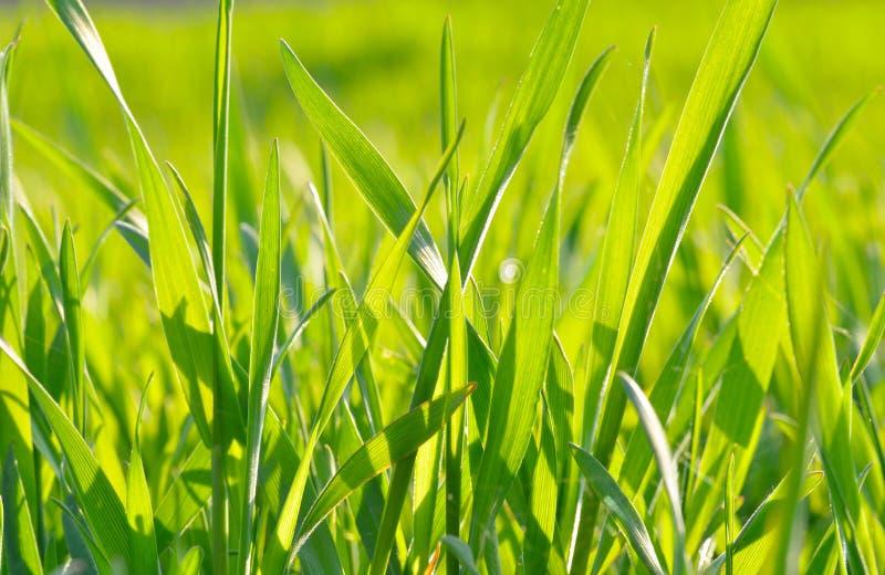 Herbe verte à la lumière du soleil sur le fond vert photo libre de droits