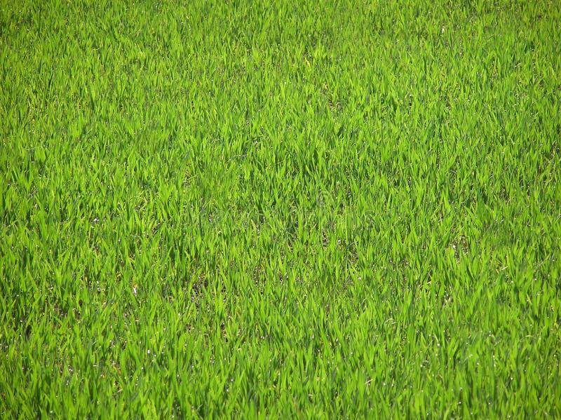 Download Herbe verte photo stock. Image du extérieur, chlorophylle - 737536