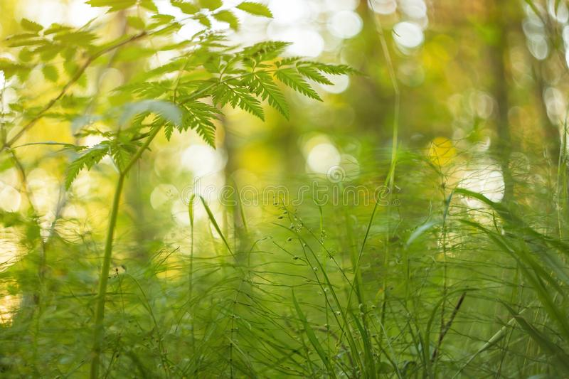 Herbe verte au soleil, fond abstrait de nature Tache floue, bokeh, macro photo stock