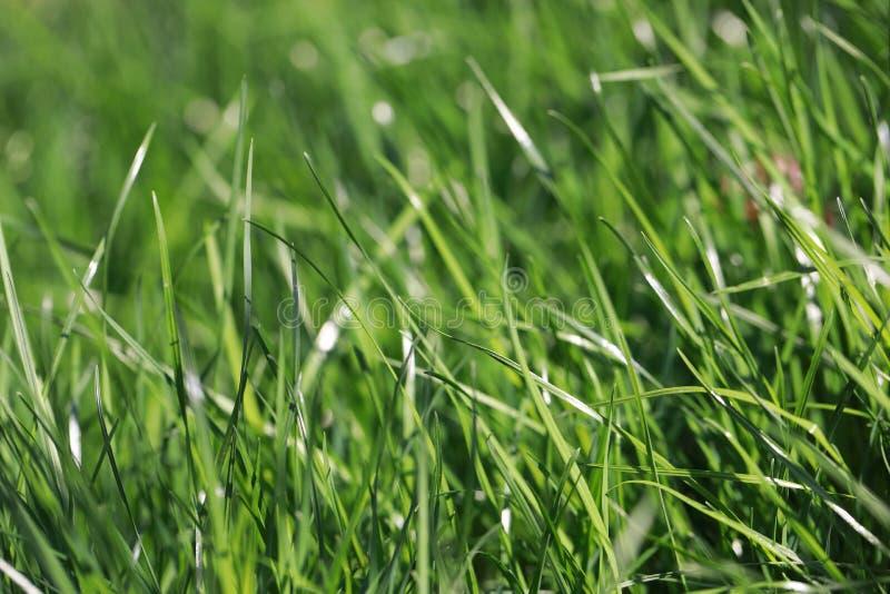 Herbe verte avec des baisses de rosée photo libre de droits