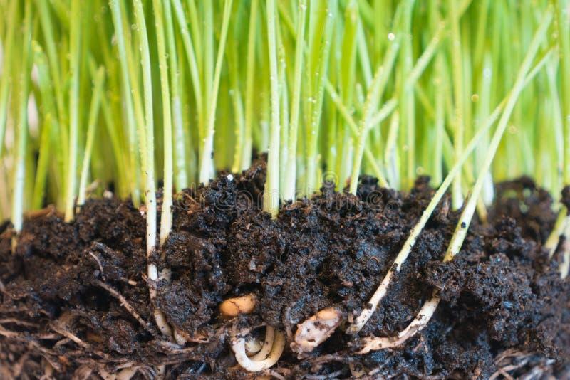 Herbe verte avec des baisses et des racines de l'eau photos libres de droits