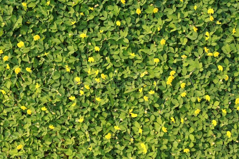 Herbe verte avec une petite fleur jaune image stock