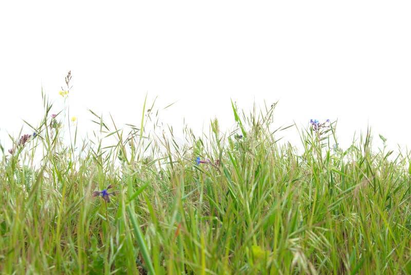 Herbe verte d'isolement photographie stock libre de droits
