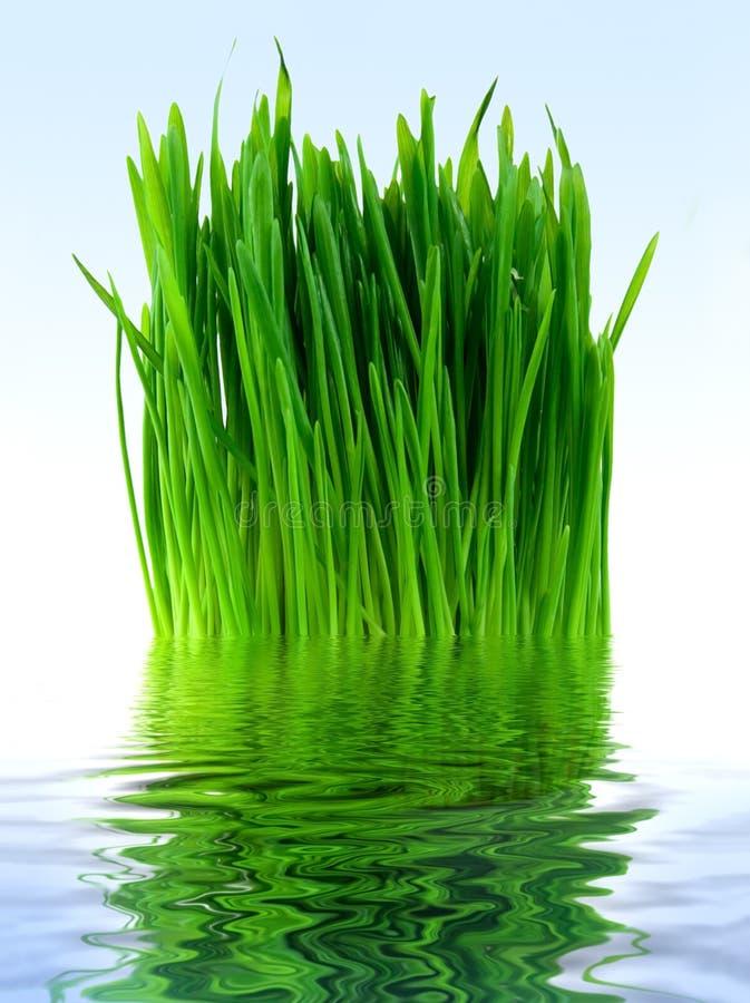 Herbe verte dans l'eau bleue photographie stock libre de droits
