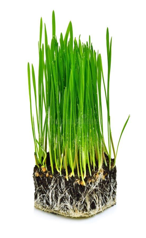 Herbe verte de blé avec des racines photographie stock