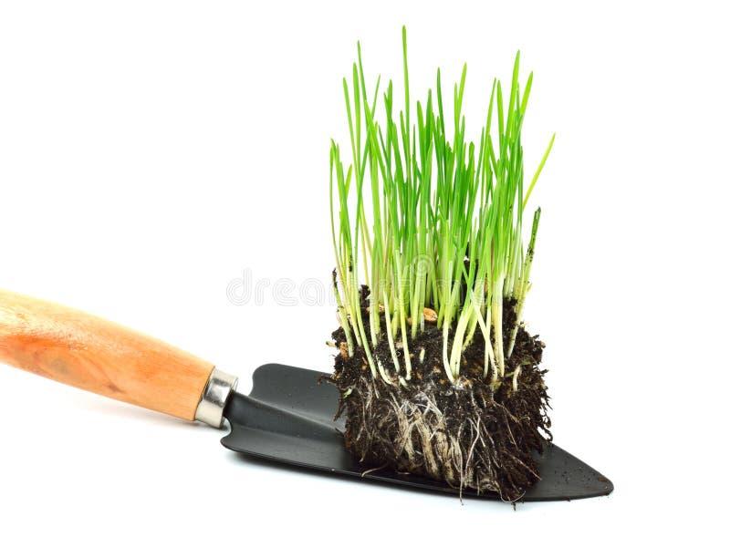 Herbe verte de blé avec des racines dans la pelle photographie stock